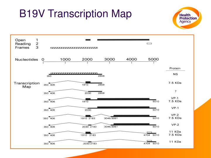 B19V Transcription Map