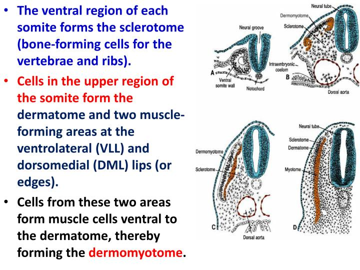 The ventral region of each somite forms the