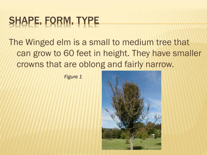 The Winged elm is a small to medium tree that can grow to 60 feet in height. They have smaller crowns that are oblong and