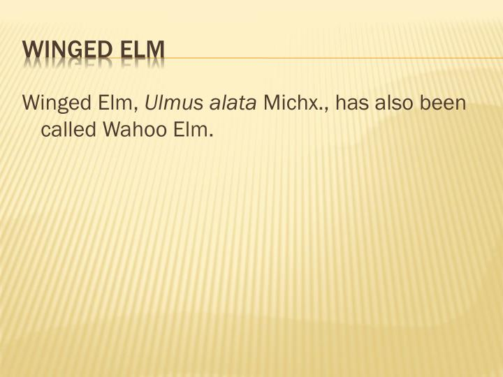 Winged elm