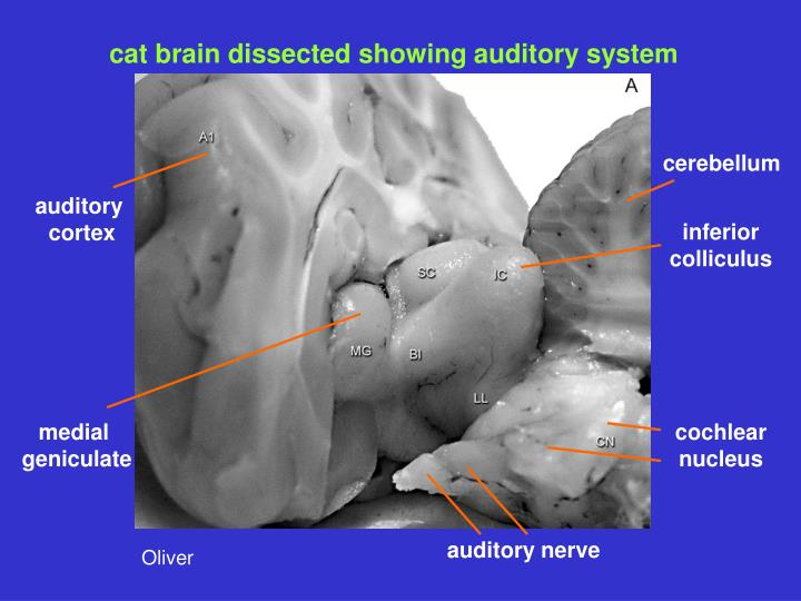 cat brain dissected showing auditory system