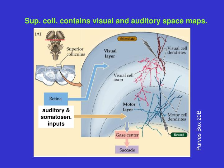 auditory &