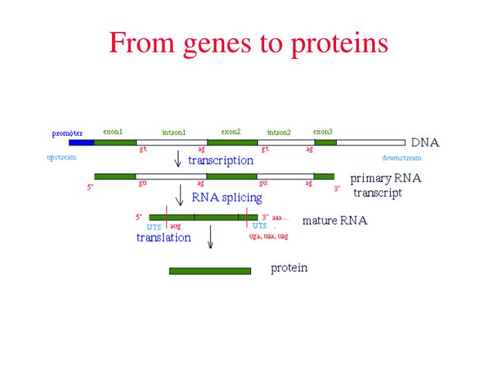 From genes to proteins