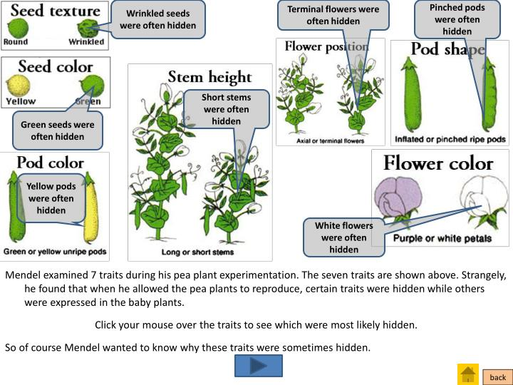 Wrinkled seeds were often hidden