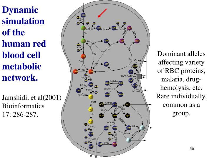 Dynamic simulation of the human red blood cell  metabolic network.