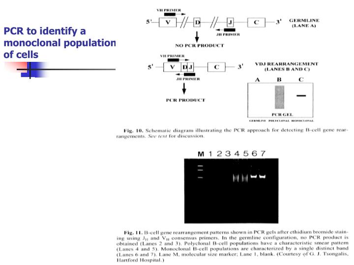 PCR to identify a monoclonal population of cells