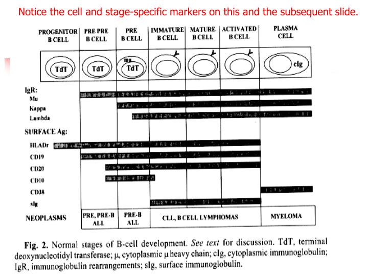 Notice the cell and stage-specific markers on this and the subsequent slide.