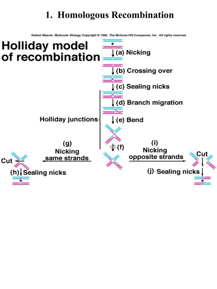 1.  Homologous Recombination