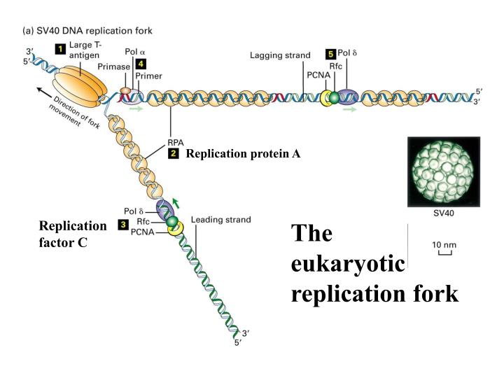 Replication protein A