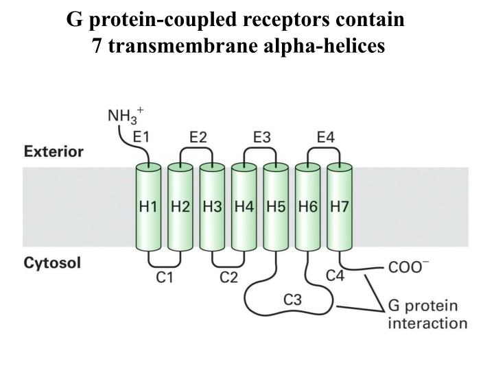 G protein-coupled receptors contain