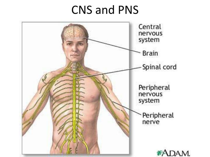 CNS and PNS