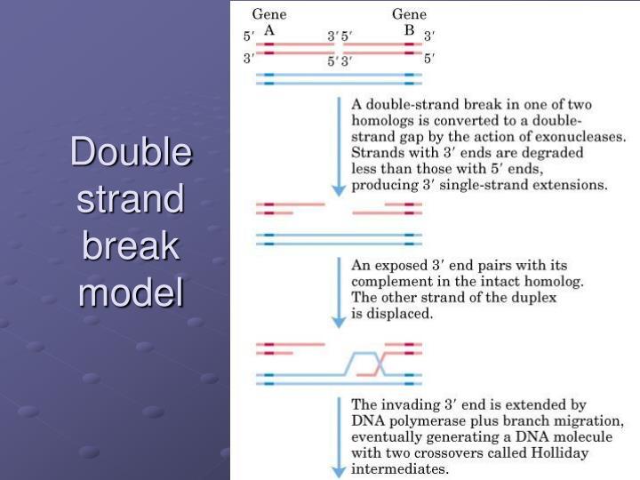 Double strand break model