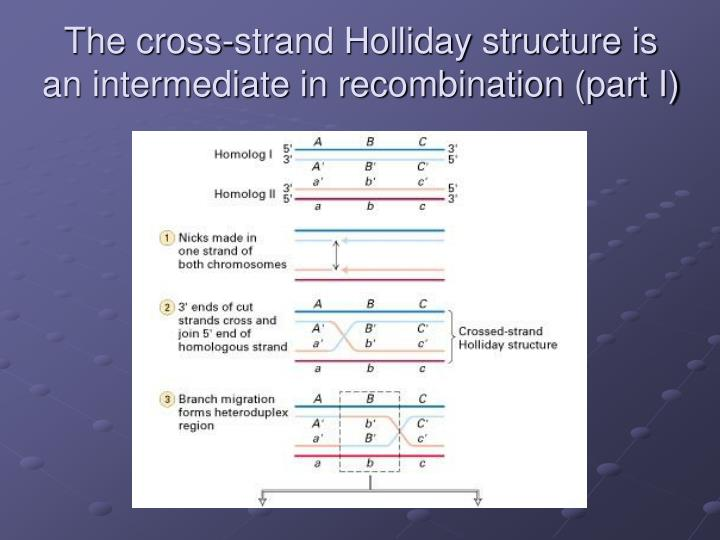 The cross-strand Holliday structure is an intermediate in recombination (part I)