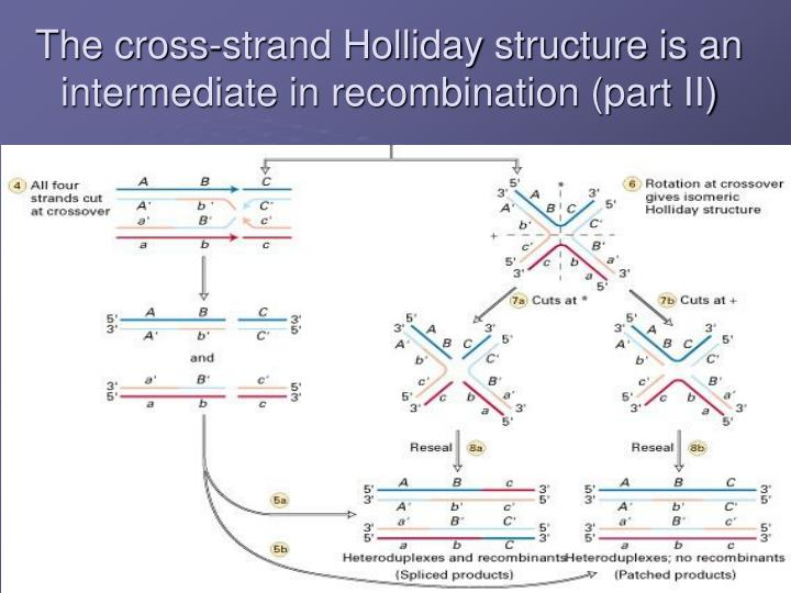The cross-strand Holliday structure is an intermediate in recombination (part II)