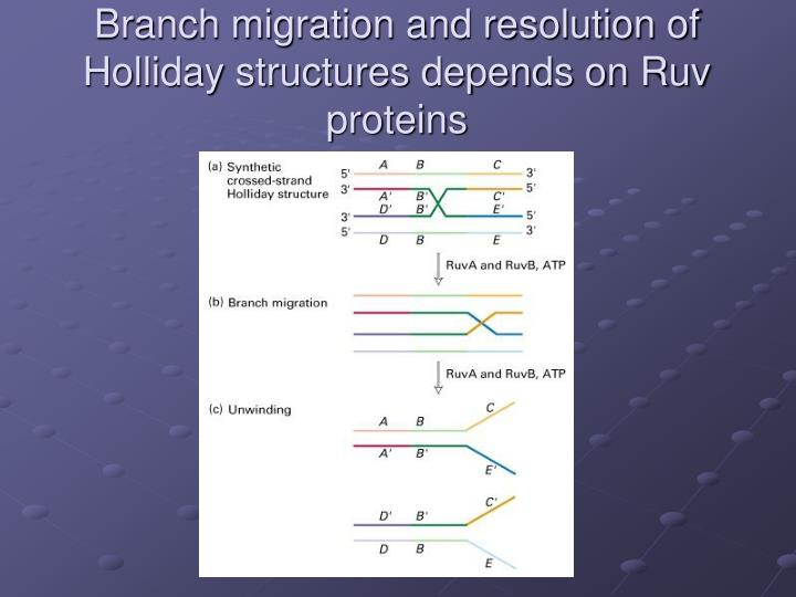Branch migration and resolution of Holliday structures depends on Ruv proteins