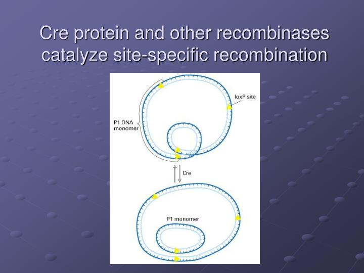 Cre protein and other recombinases catalyze site-specific recombination
