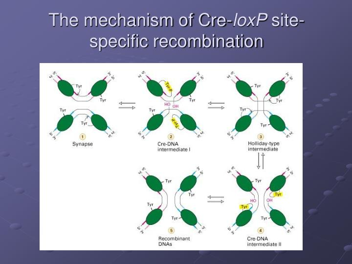 The mechanism of Cre-