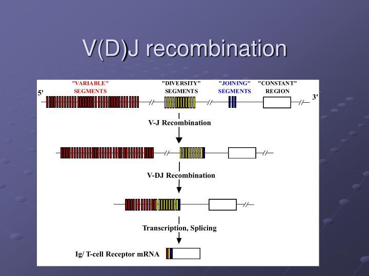 V(D)J recombination