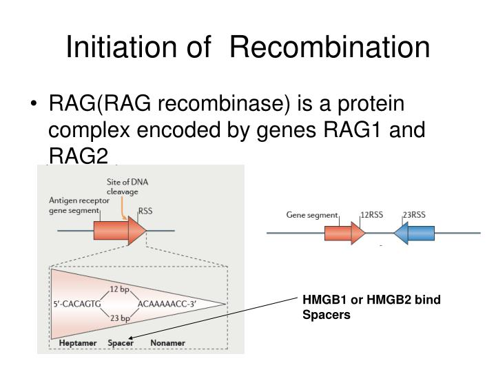 Initiation of  Recombination