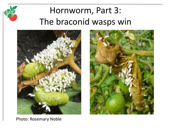 Hornworm, Part 3: