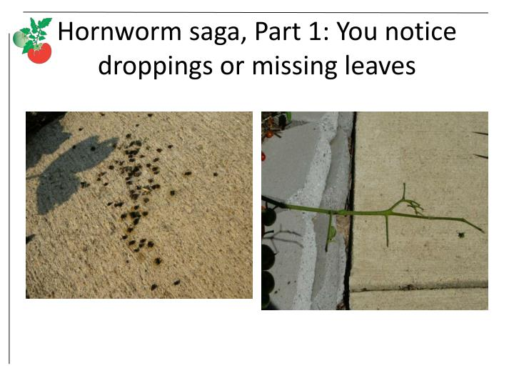 Hornworm saga, Part 1: You notice droppings or missing leaves