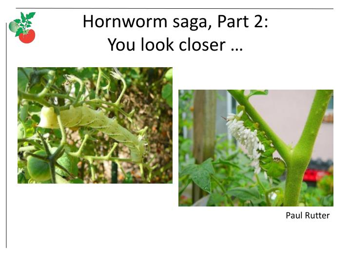Hornworm saga, Part 2: