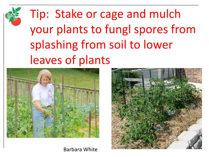 Tip:  Stake or cage and mulch your plants to fungl spores from splashing from soil to lower leaves of plants