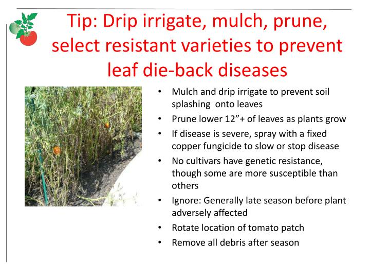 Tip: Drip irrigate, mulch, prune, select resistant varieties to prevent leaf die-back diseases