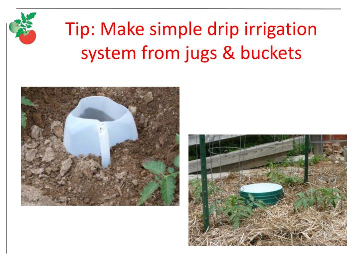 Tip: Make simple drip irrigation system from jugs & buckets