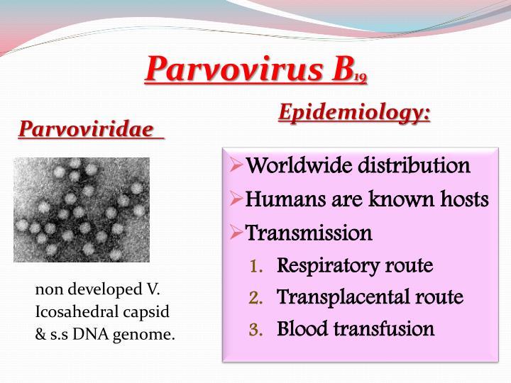 Parvovirus B