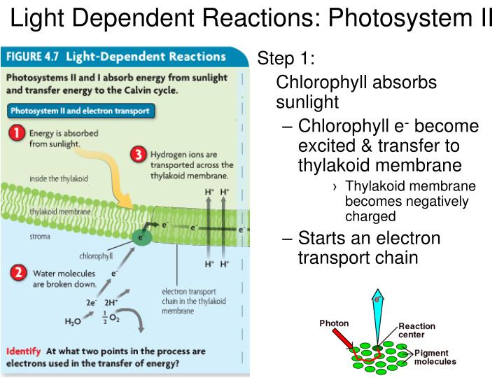 Light Dependent Reactions: Photosystem II