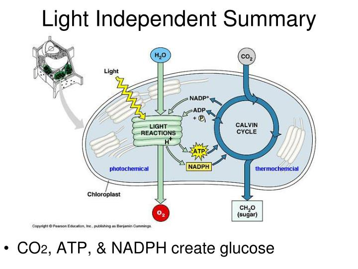 Light Independent Summary