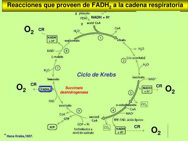Reacciones que proveen de FADH