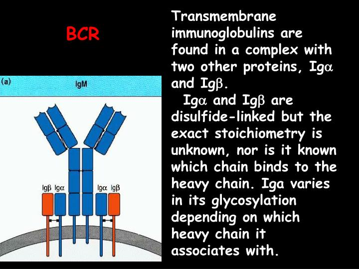 Transmembrane immunoglobulins are found in a complex with two other proteins, Ig