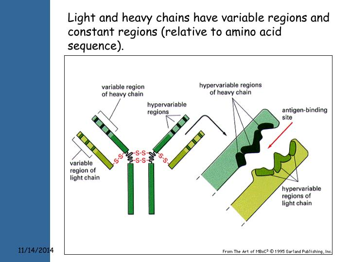 Light and heavy chains have variable regions and constant regions (relative to amino acid sequence).