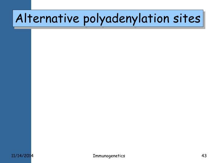 Alternative polyadenylation sites