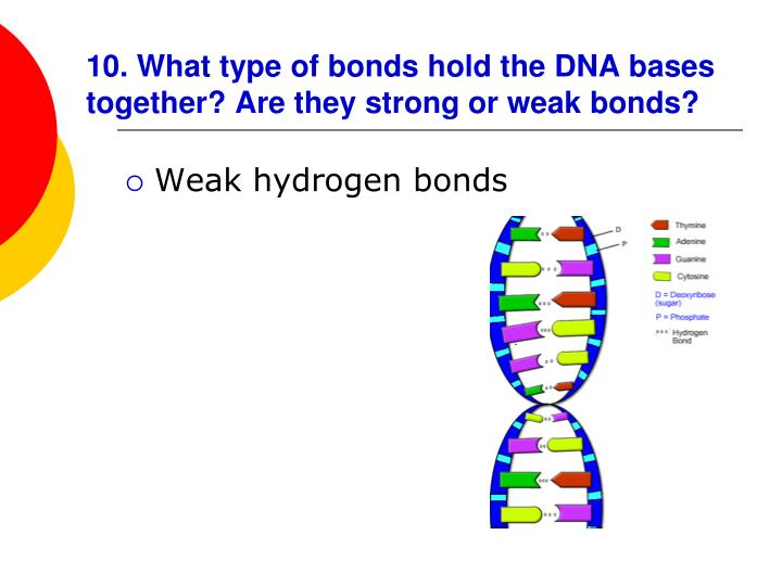 10. What type of bonds hold the DNA bases together? Are they strong or weak bonds?