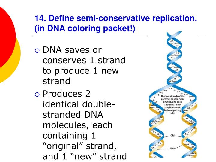 14. Define semi-conservative replication. (in DNA coloring packet!)