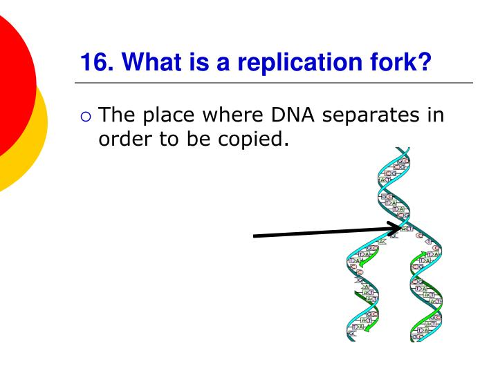 16. What is a replication fork?
