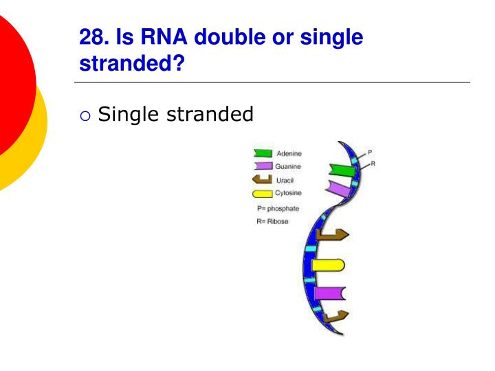 28. Is RNA double or single stranded?