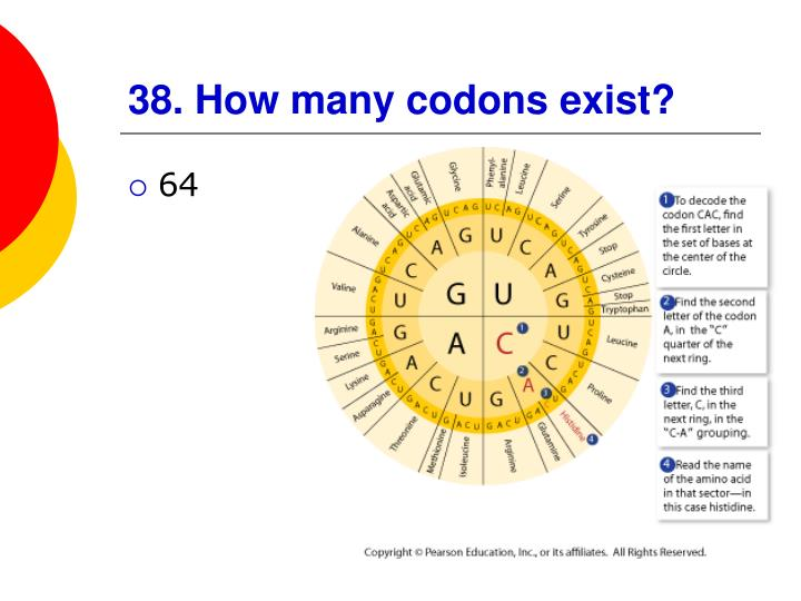 38. How many codons exist?