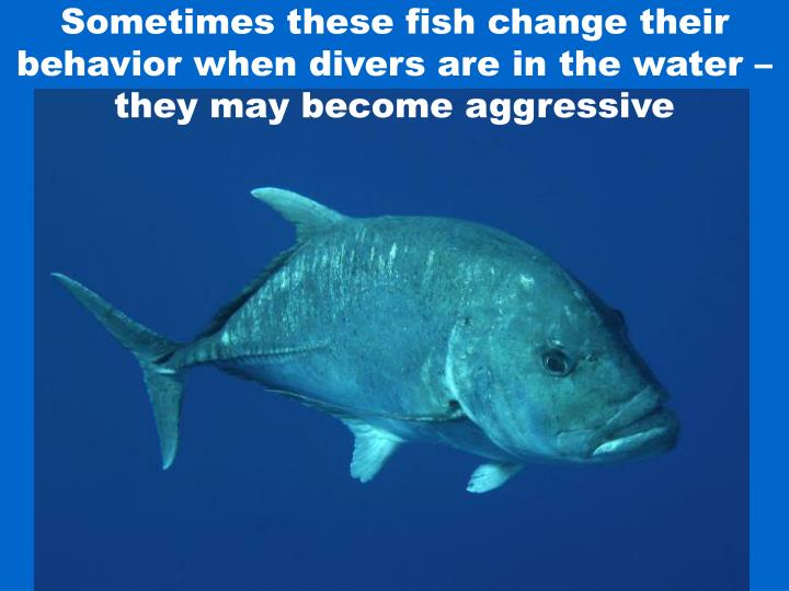Sometimes these fish change their behavior when divers are in the water – they may become aggressive