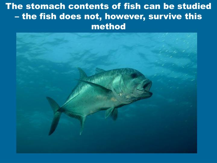 The stomach contents of fish can be studied – the fish does not, however, survive this method