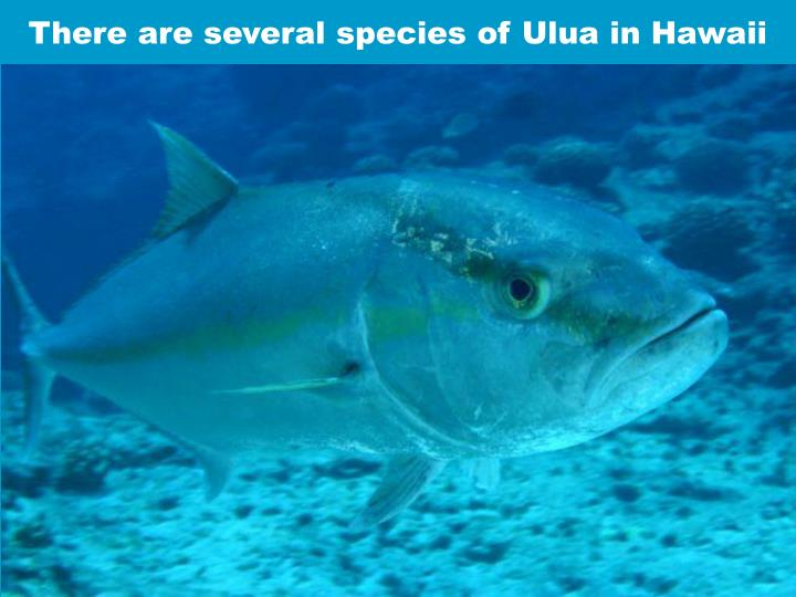There are several species of Ulua in Hawaii