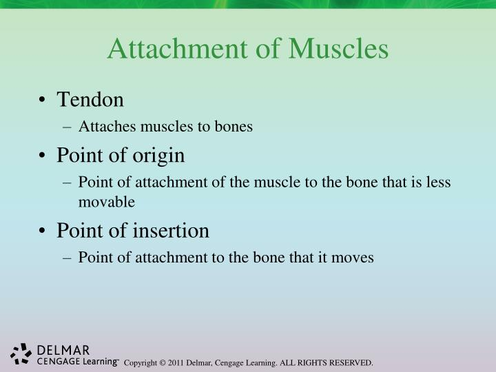Attachment of Muscles