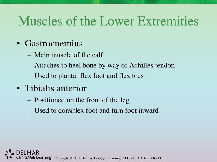 Muscles of the Lower Extremities