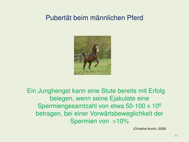 Pubertät beim männlichen Pferd
