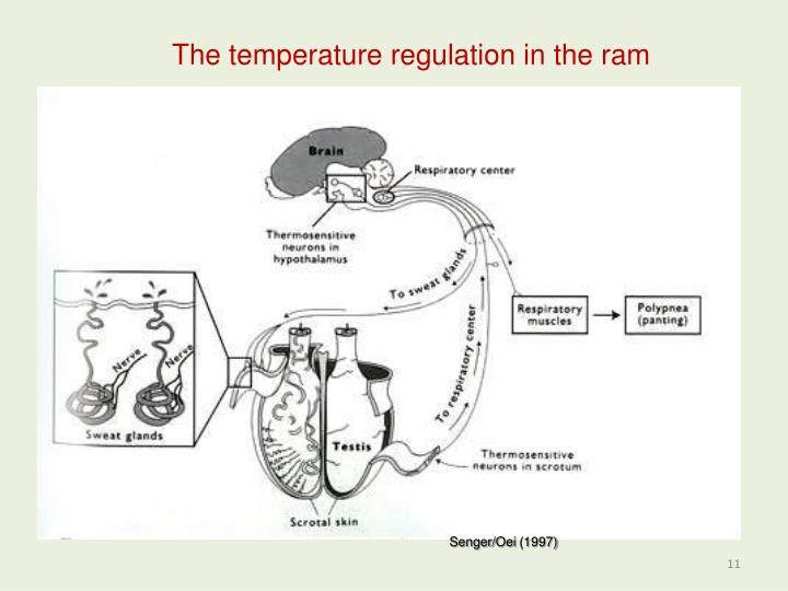 The temperature regulation in the ram
