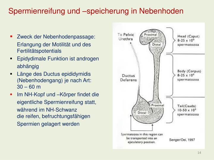 Spermienreifung und –speicherung in Nebenhoden