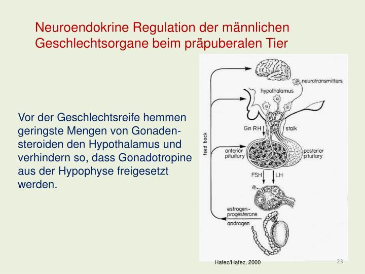 Neuroendokrine Regulation der männlichen Geschlechtsorgane beim präpuberalen Tier